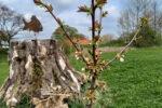 Thumbnail for the post titled: Obstbäume auf der Bürgerwiese blühen